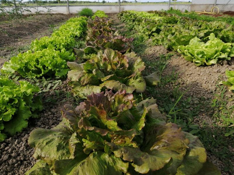 Lago di Pane agricoltura sociale insalata